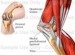 Interactive Knee Anatomy Medial Musculature Of The Knee Joint Medical Illustration Human