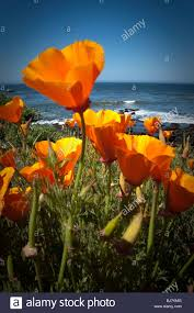california poppy flowers along a pacific ocean coast and shoreline