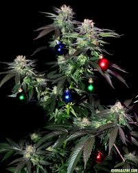 Marijuana Christmas Tree