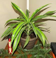 dracaena fabulous houseplants dracaena deremensis susan u0027s in the garden