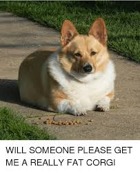 will someone please get me a really fat corgi corgi meme on me me