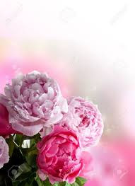 The Pink Peonies by Beautiful Pink Peonies On White Background Plenty Of Copy Space