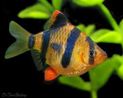 222 best fish barbs images on tropical fish fish