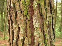 Symbolism Of A Tree by Bark Wikipedia