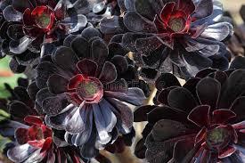 Black Rose Flower Aeonium Black Rose Flowers Stock Images Image 27363564
