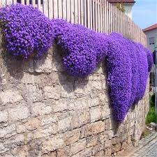 flower seeds creeping thyme seeds or blue rock cress seeds