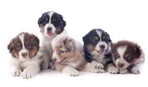 buy a australian shepherd australian shepherd puppies available in phoenix u0026 tucson az