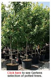 how to growing trees buying and planting a potted tree