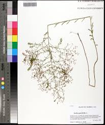 Florida State University Map by Lechea Pulchella Leggett U0027s Pinweed Go Botany