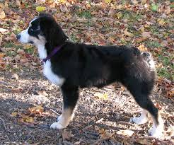 7 month old australian shepherd puppy faithwalk aussies growing up aussie