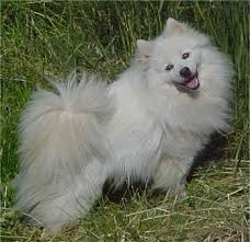 american eskimo dog puppies near me american eskimo information and pictures spitz american eskimo