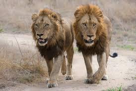 male lion wallpapers two male lions 38 wallpapers u2013 hd desktop wallpapers