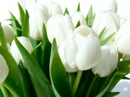 white tulips white tulips hd i τυℓiραทє flowers and plants