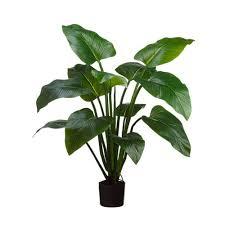 palm trees outdoor curcuma plant curcuma palm