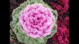 growing ornamental cabbage from seed