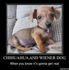 Wiener Dog Meme - image chiweenie meme jpg meme hell wikia fandom powered by wikia