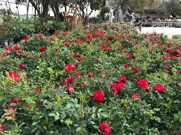 drift roses just arrived spectacular drift roses