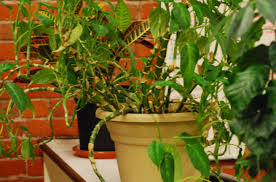 Plants That Need No Light Office Plants That Need No Natural Light Low Light Loving