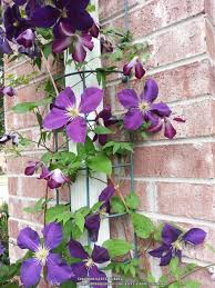clematis trellis actually look pretty u2013 outdoor decorations