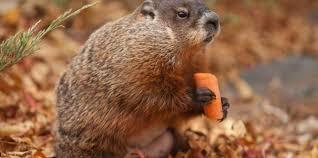 groundhog trap repellent 2017 u2013 rid groundhog