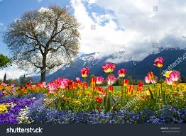 tulip beds beautiful landscaping front swiss stock photo 102740204
