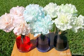 carnation flower science project www mindsandvines com