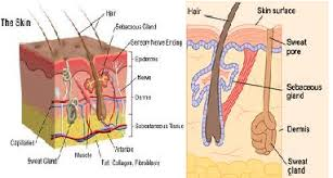 Human Anatomy Integumentary System Introduction Of Human Body Human Anatomy Cells Tissues