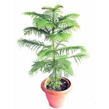 christmas plants christmas tree plant trees क र समस ट र mondal