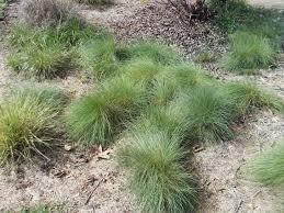 native grass plants the granada native garden newsletter a demonstration garden for