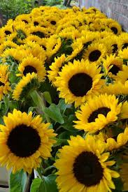 single sun flower wallpapers 3273 best sunflowers images on pinterest sunflowers daisy and