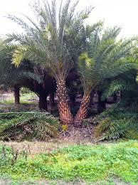 sylvester palm tree sale availability list cod trees
