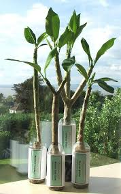 plumeria uk exotic tropical flowers and plants from hawaii