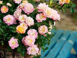 drift roses a better than knock out southern living