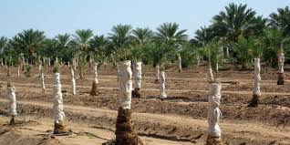 medjool date palm trees for sale dateland gardens