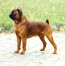 toilettage de l affenpinscher petits chiens belges wikiwand