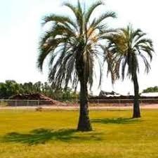 buy pindo palm tree pindo palm tree sale grow pindo palms nursery