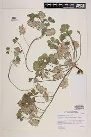 Tecate Mexico Map by Seinet Arizona Chapter Pediomelum Californicum