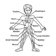 brain anatomy coloring book inner brain regions blank human anatomy chart