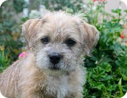 affenpinscher a donner donner adopted puppy los angeles ca shih tzu pit bull