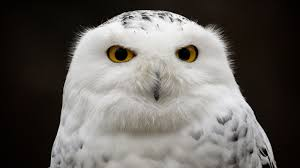 What Does A Barn Owl Look Like Snowy Owl