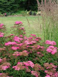 summer flowering shrubs hgtv
