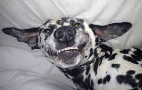 american pitbull terrier dalmatian mix dalmatian pictures and photos dog breed dog type pictures from