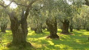 health benefit of olive oil eden u0027s garden