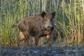 Louisiana wildlife images Ldwf to use helicopters to hunt down feral hogs this week on pearl jpg