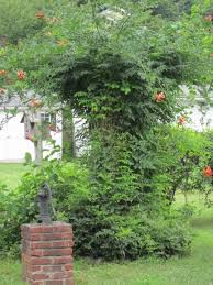 red trumpet vine is hummingbird u0027s favorite hudson valley gardens
