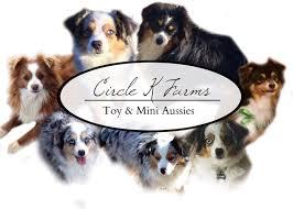 australian shepherd family dog circle k farms teacup tiny toys toys and miniature australian