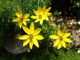 which coreopsis is which cosmos and cleome