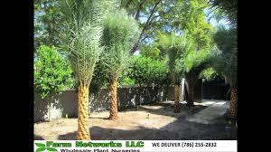 sylvester palm tree sale south florida sylvester palm trees 786 255 2832 we deliver