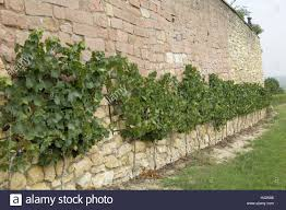 stone defensive wall trellis plants vines vineyard vines