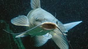 pesci alimentazione pesce gatto pesci acquario caratteristiche pesce gatto